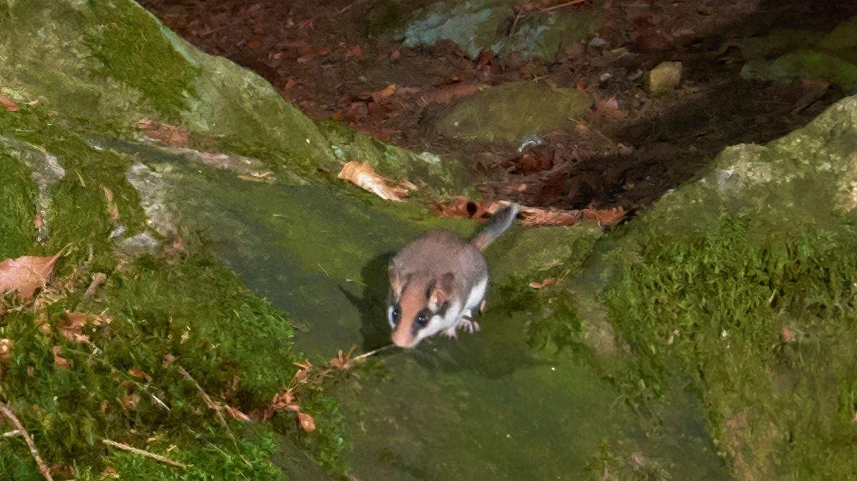 Im Bayerischen Wald wurde ein Gartenschläfer gesichtet