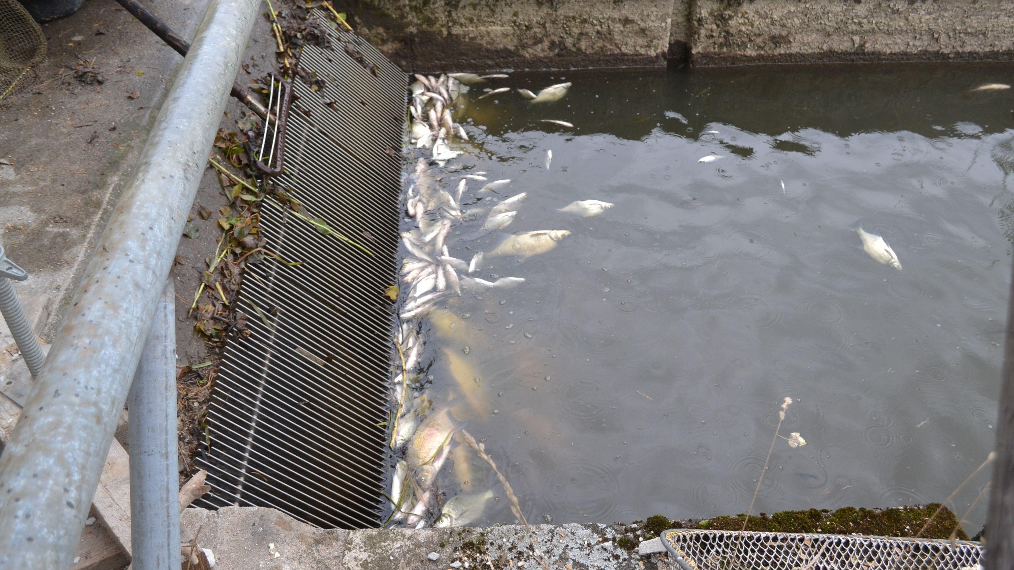 Tote Fische treiben vor dem Rechen des Kanals