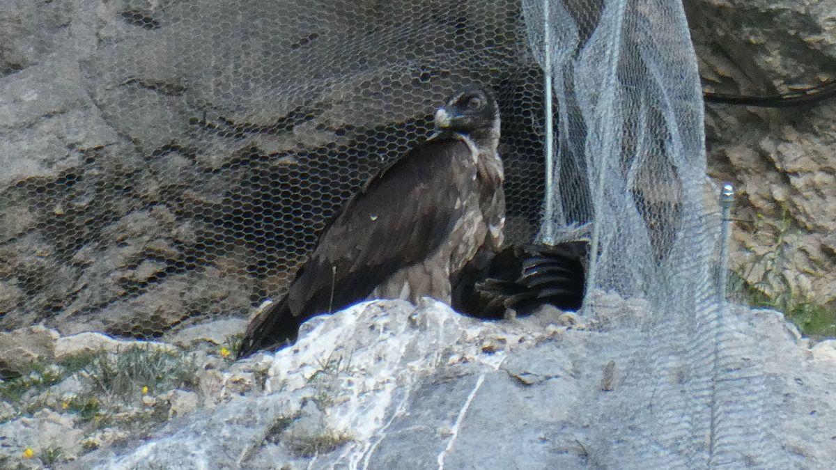 Der Nationalpark Berchtesgaden hat seine Stars in Gestalt der beiden derzeit noch flugunfähigen Bartgeier-Weibchen Wally und Bavaria.
