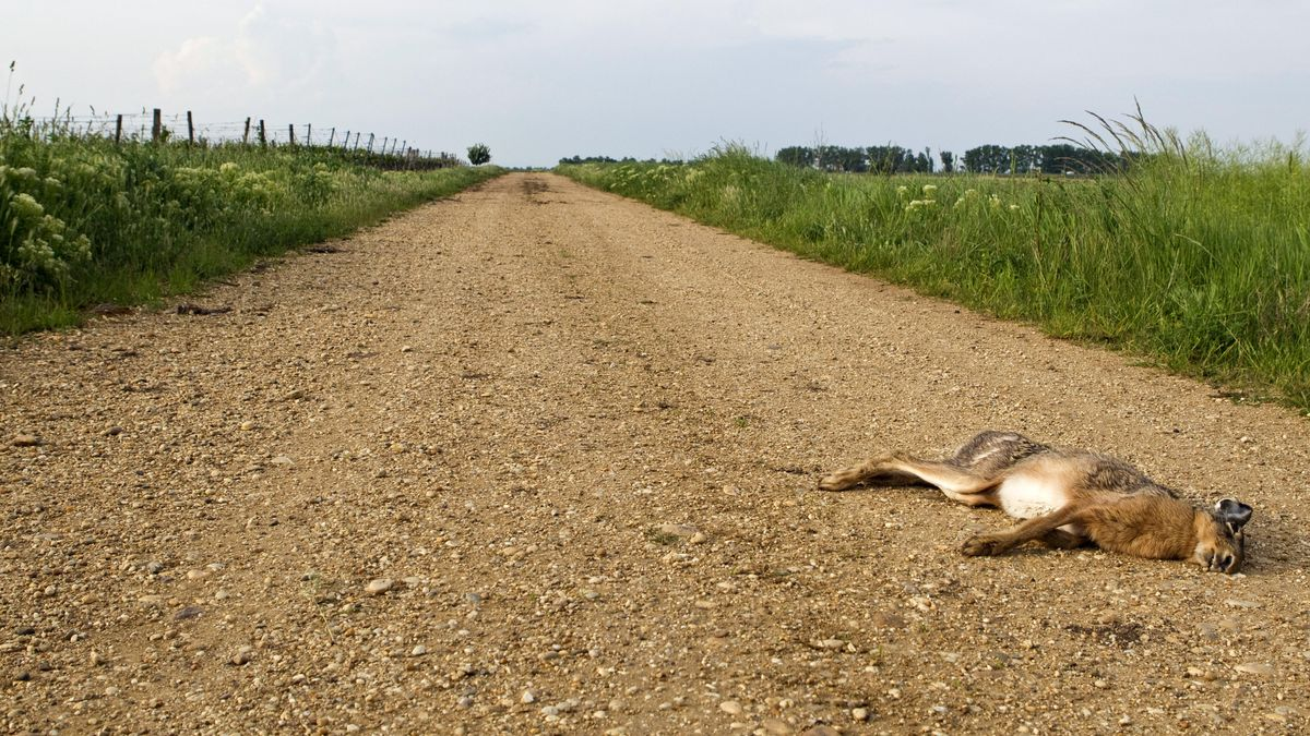 Toter Hase auf einem Feldweg. (Symbolbild)