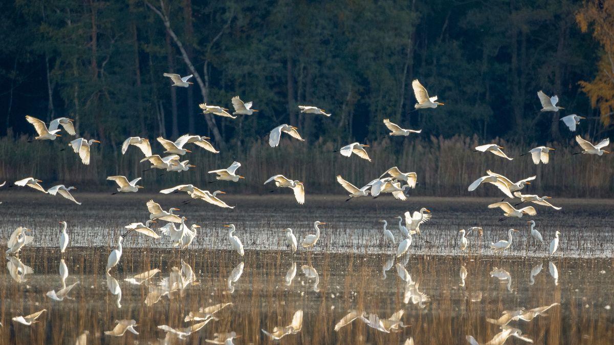 Silberreiher fliegen über einen Weiher.