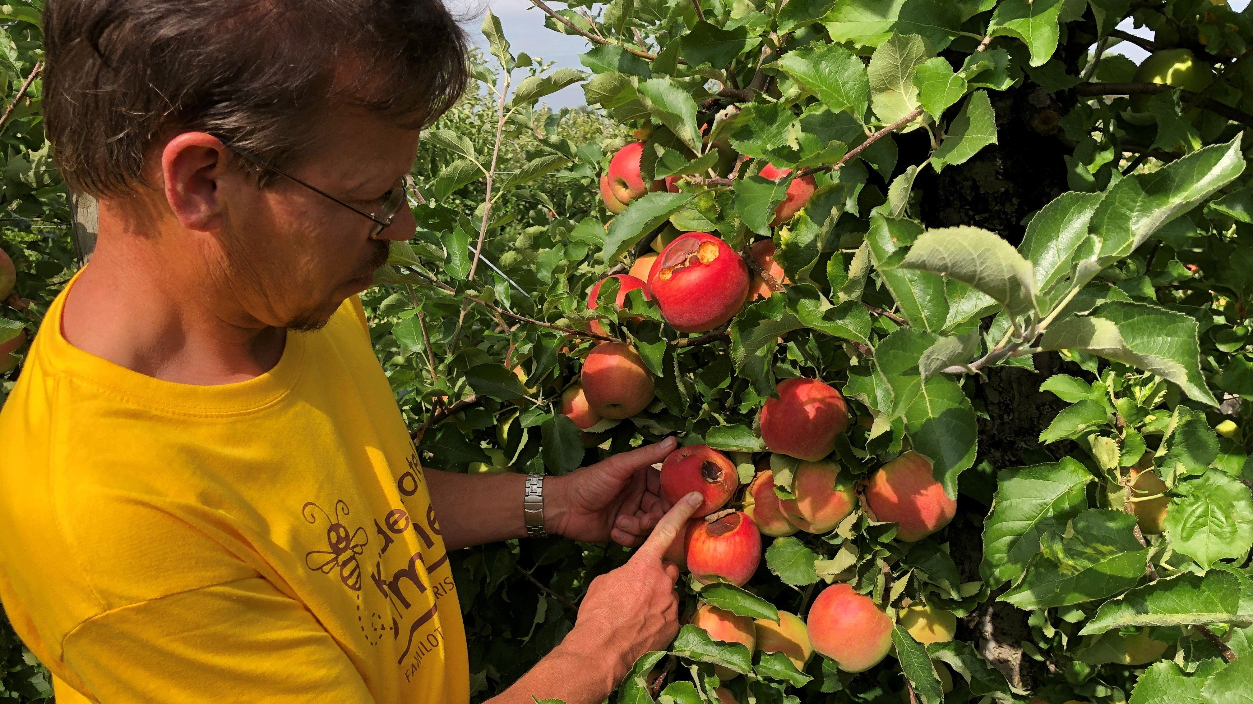 Hans Göding, Leiter des Lehr- und Beispielsbetriebs für Obstbau,  begutachtet betroffene Äpfel
