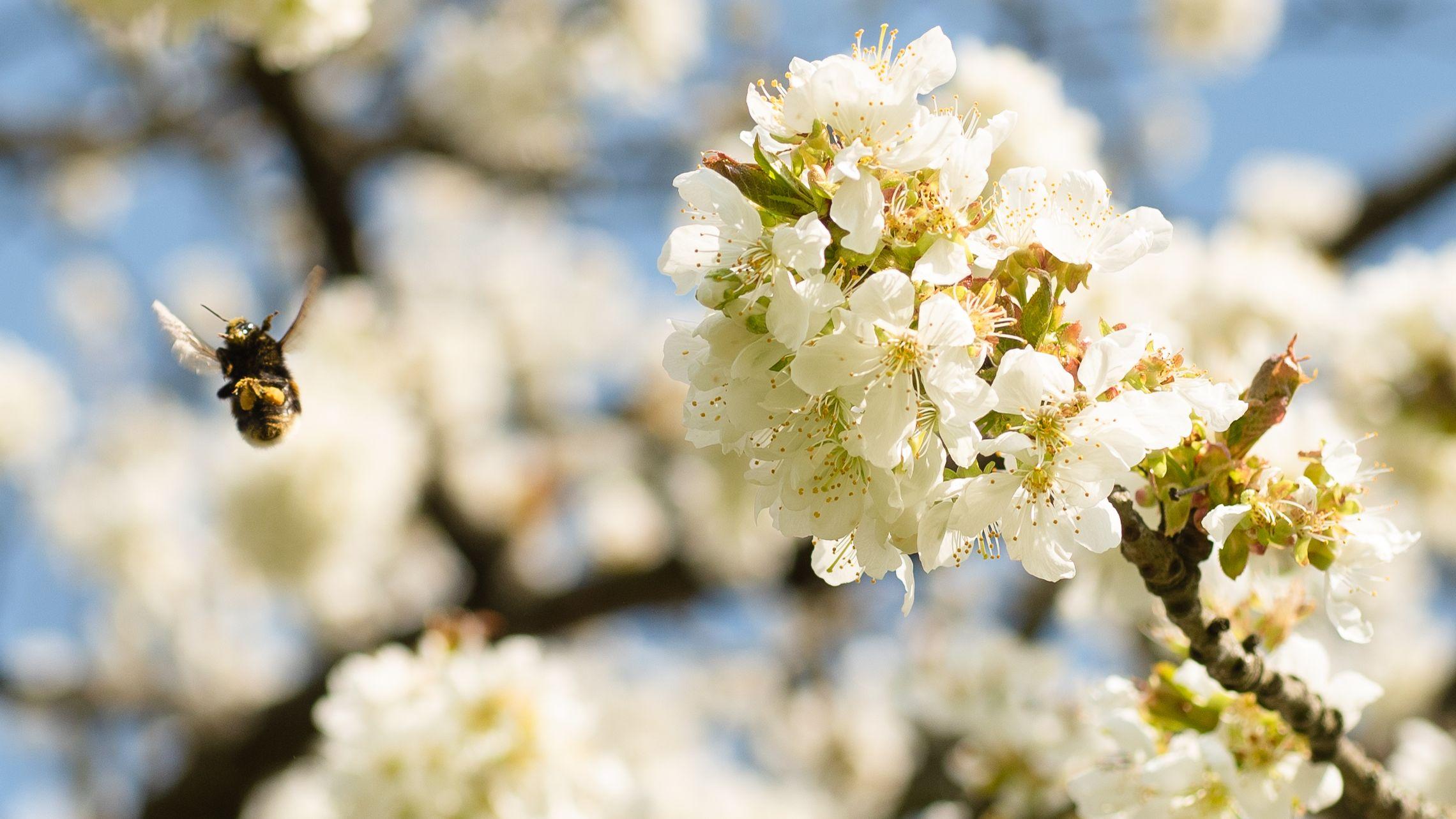 Hummel zwischen Apfelblüten
