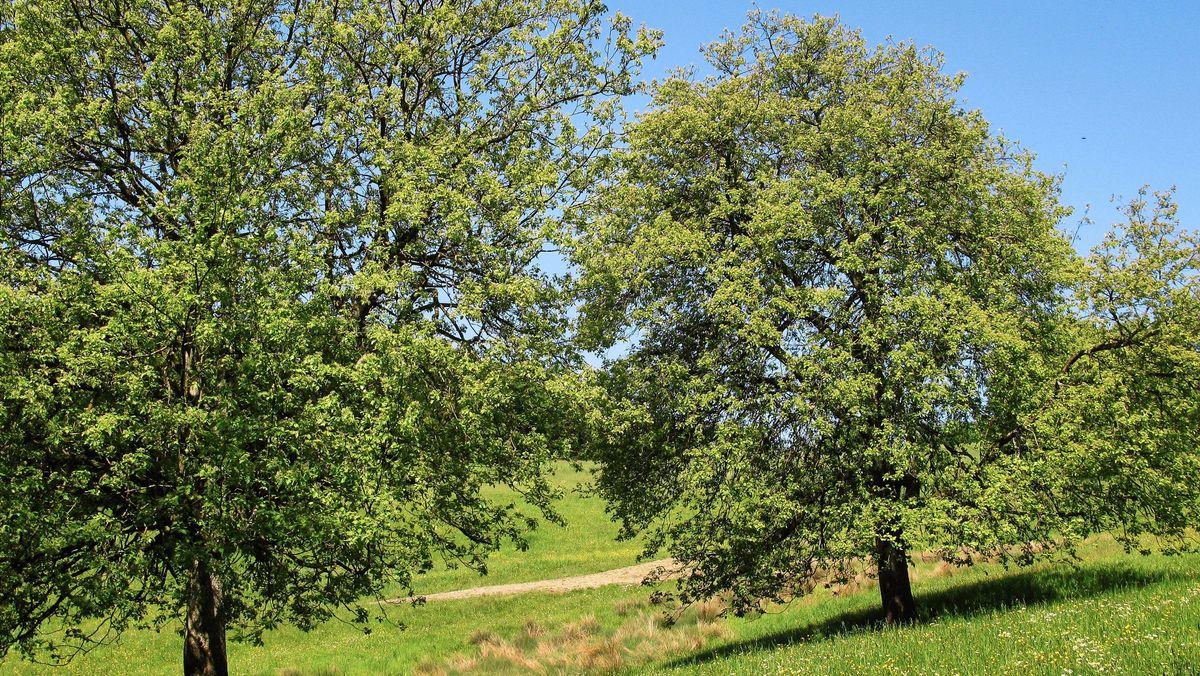 Elsbeerbäume am Elsbeerwanderweg bei Michelbach, Niederösterreich