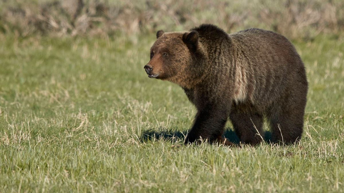 Grizzlybär im Yellowstone National Park/USA (Symbolbild)