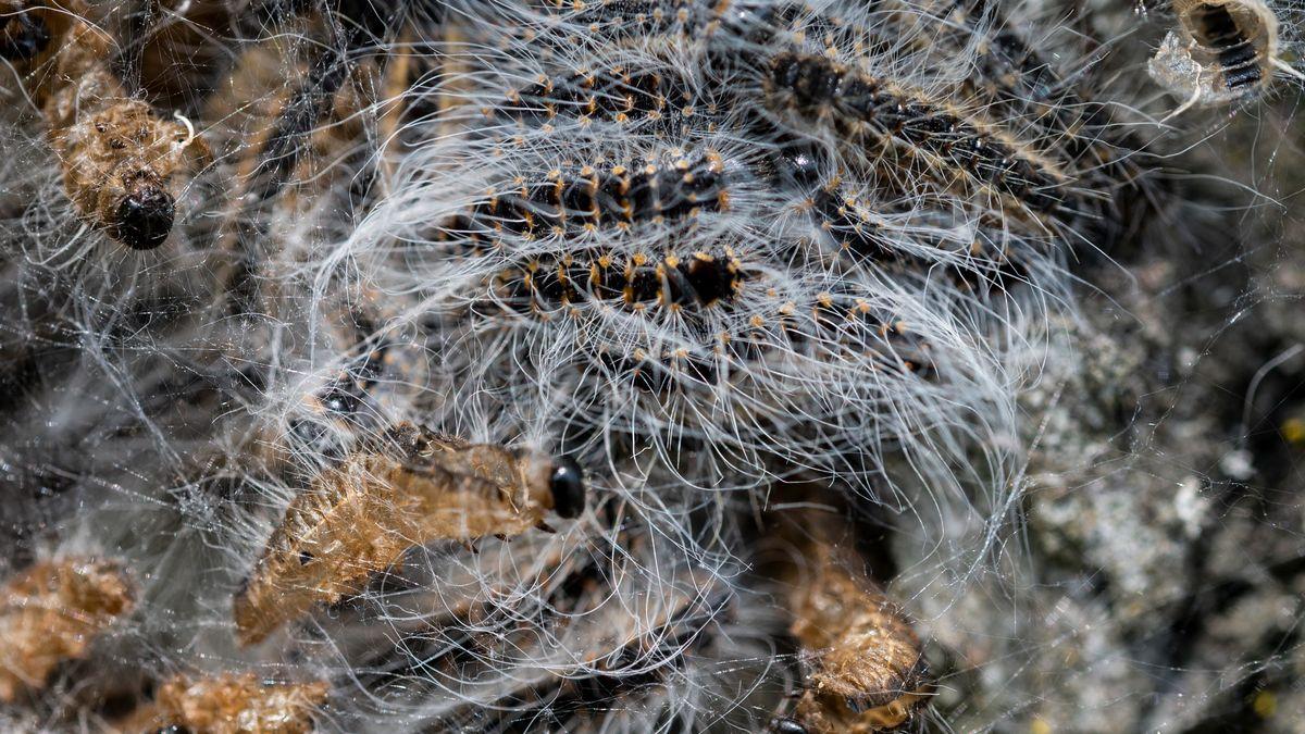Nest von einem Eichenprozessionsspinner