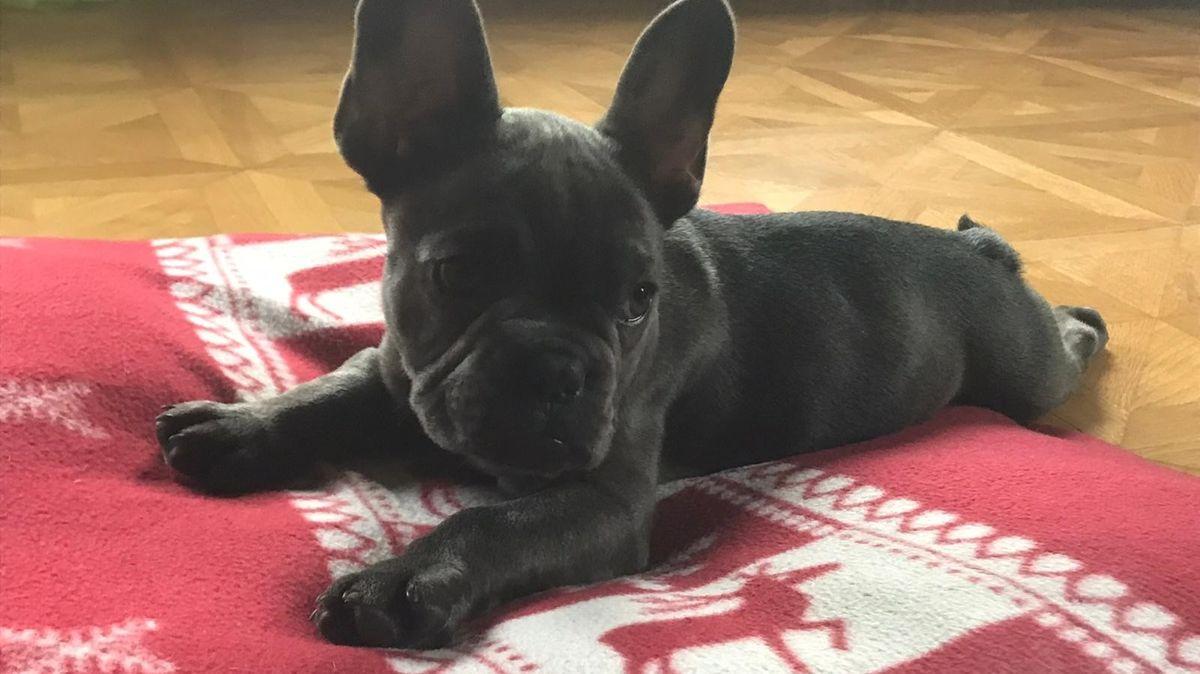Die Französische Bulldogge Frodo liegt auf einer roten Decke.