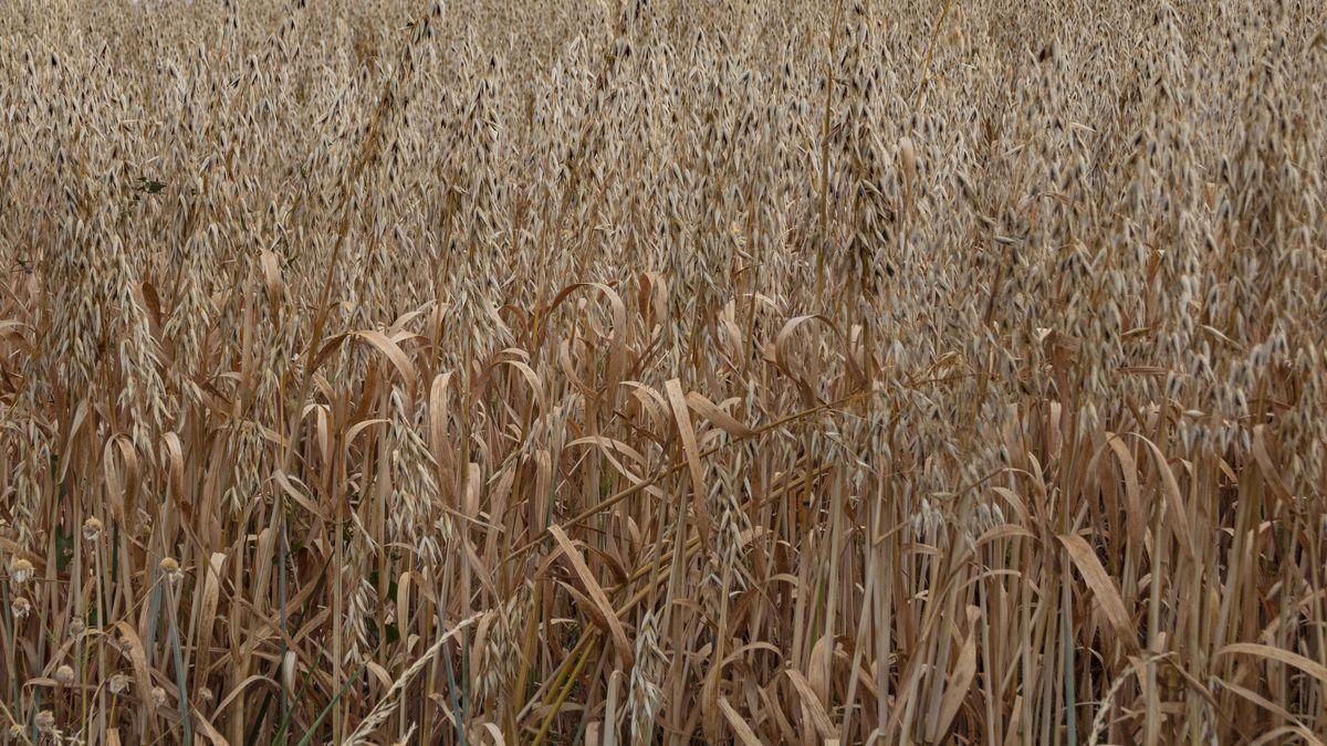 Symbolbild Getreide