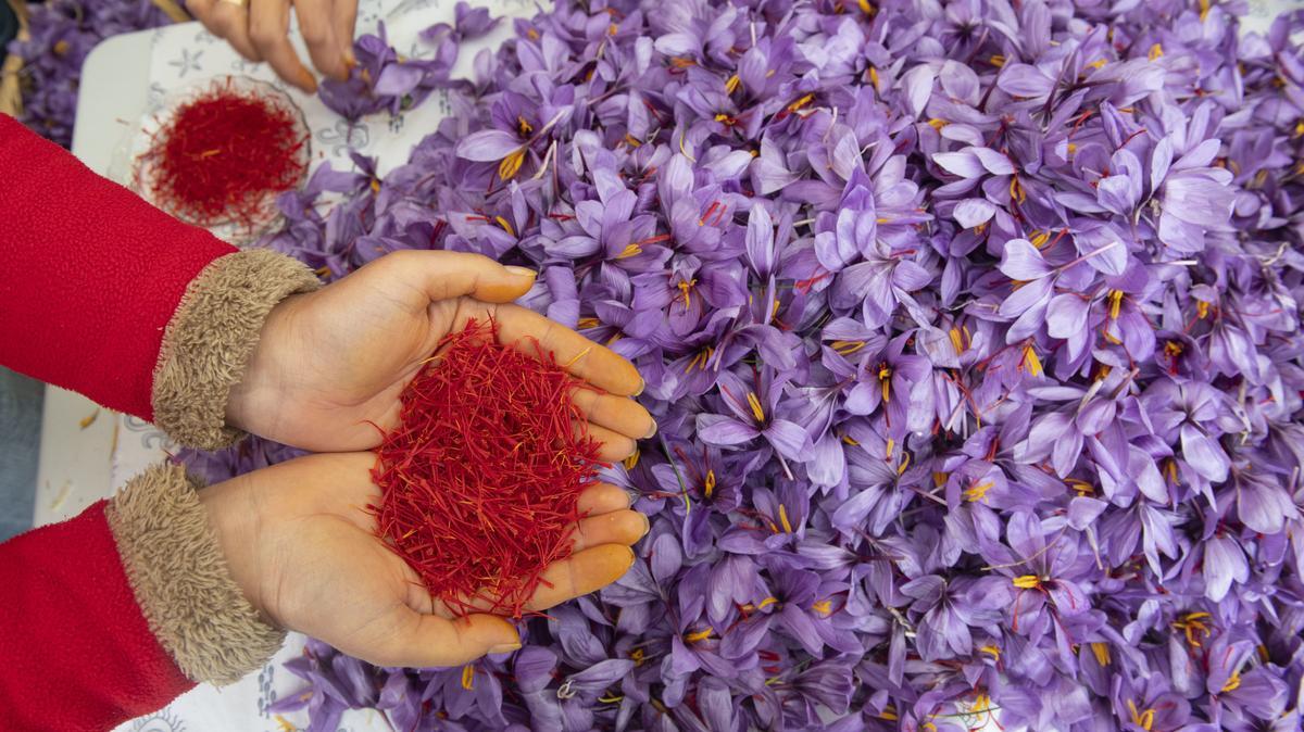 Frauen pflücken Safranblüten und zupfen Safranfäden.