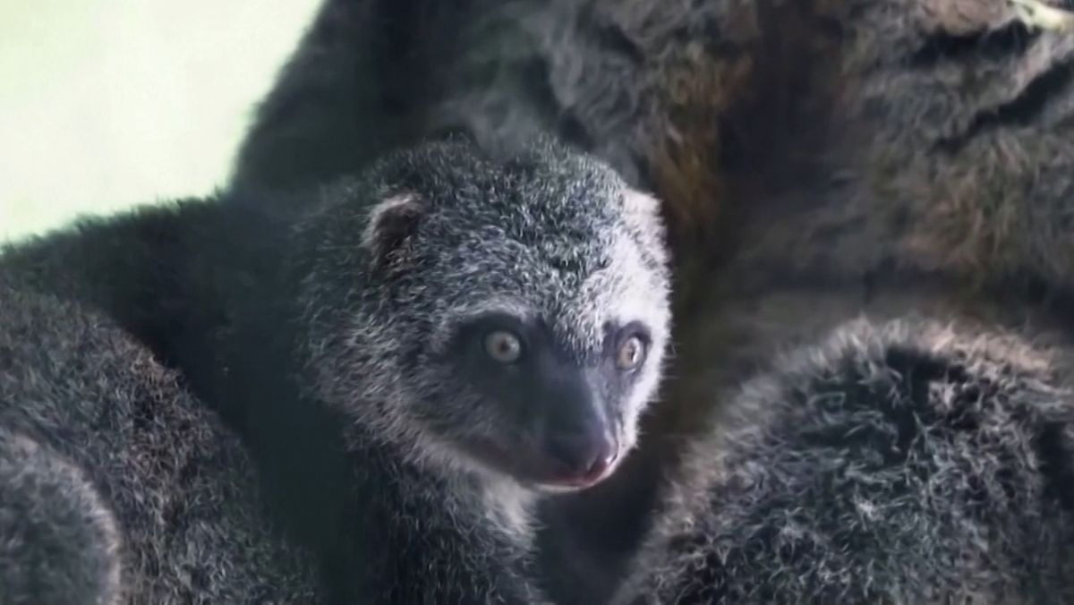 Bärenkuskus-Nachwuchs im Zoo von Wroclaw (Breslau)