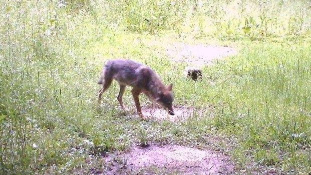 Ein Wolf auf dem Foto einer Wildkamera. Das Tier ist im Landkreis Eichstätt im Saupark, einem Waldgebiet südwestlich von Eichstätt, in eine Fotofalle getappt. Es wurde später eindeutig als Wolf identifiziert.
