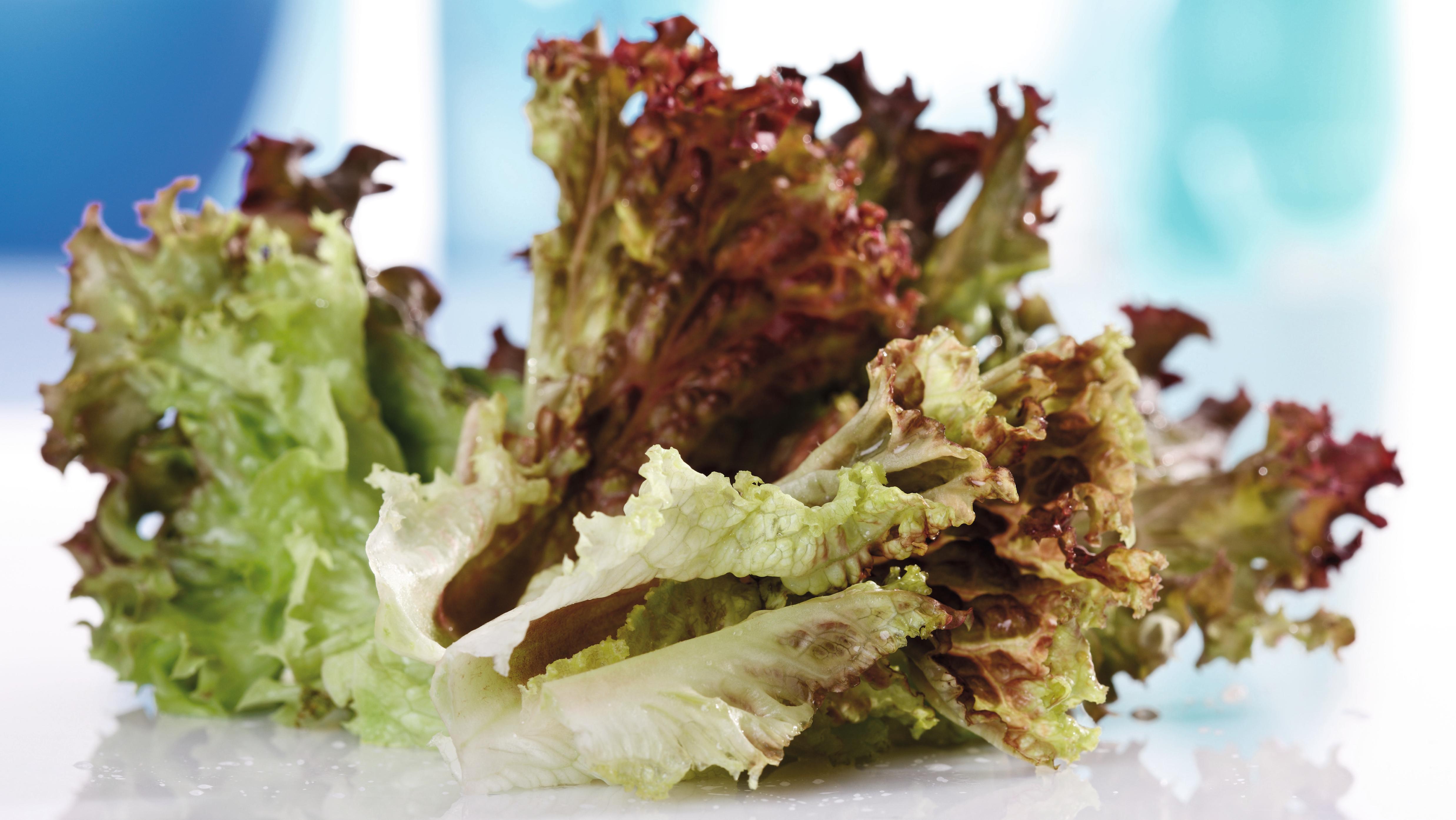 Lollo Rosso Salatblätter