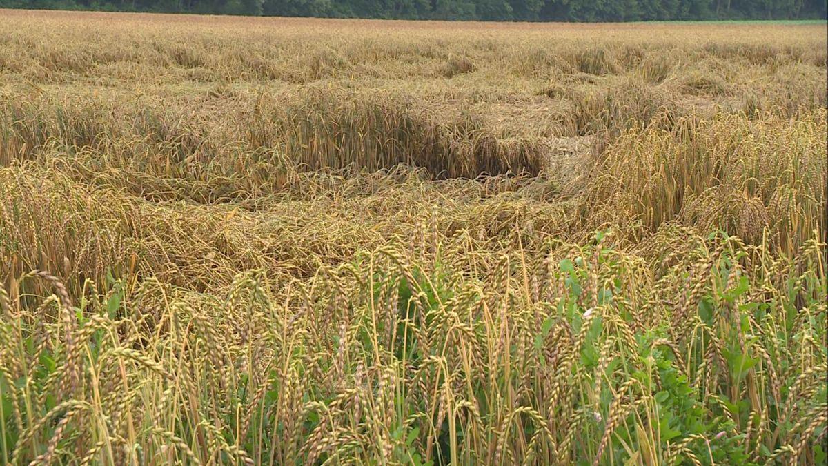 Ein Getreidefeld in Unterfranken