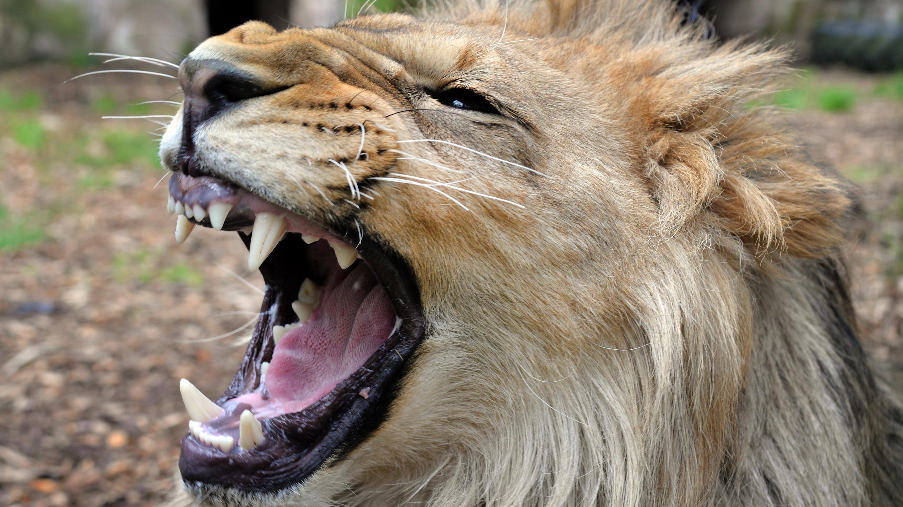Löwe im Zoo (Symbolbild)