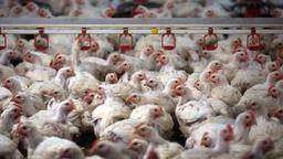 Hühner in einem Mastbetrieb (Symbolbild) | Bild:pa/dpa/Jens Büttner