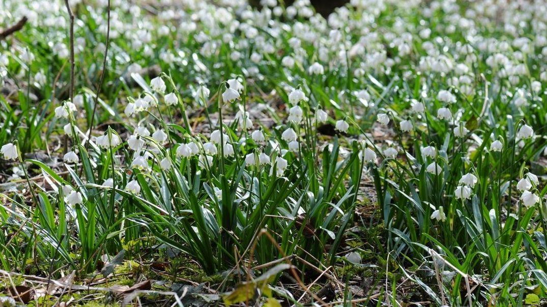 Schwabens größtes Märzenbecher-Vorkommen in voller Blüte