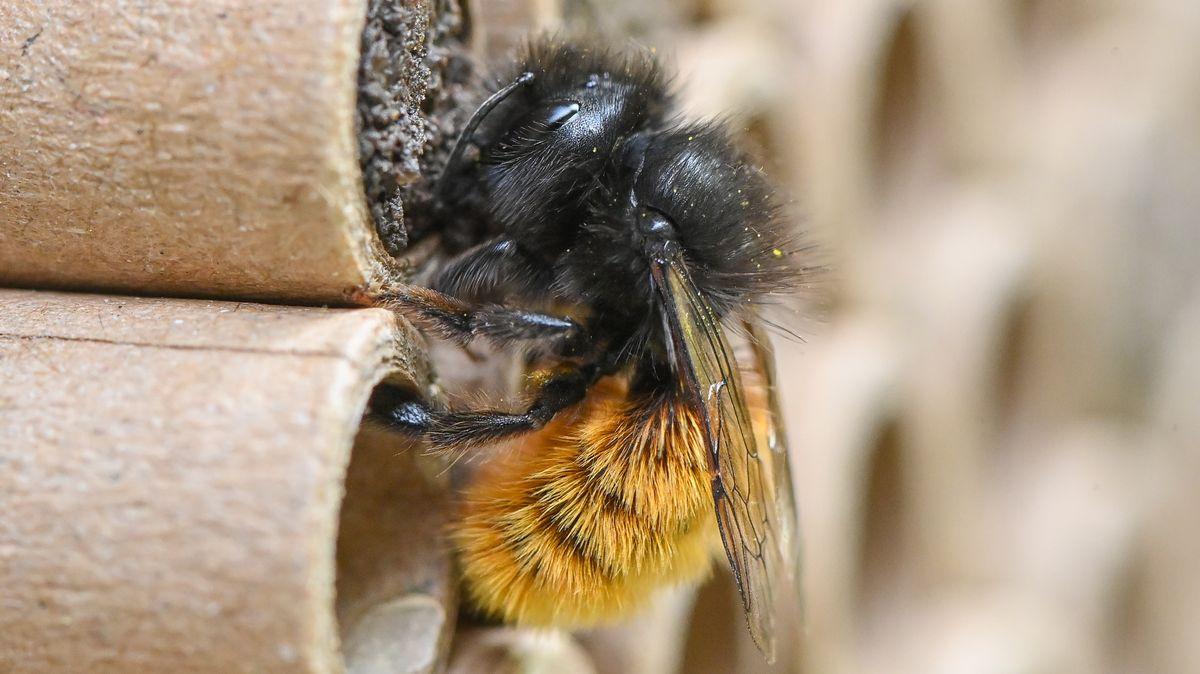 """Eine """"gehörnte Mauerbiene"""" vor ihrem Brutröhrchen"""