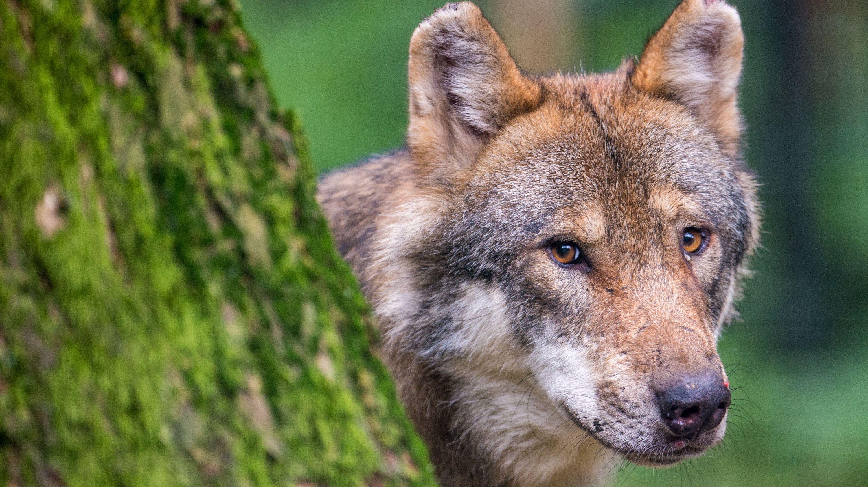Erstmals Wolf im Landkreis Fürth dokumentiert