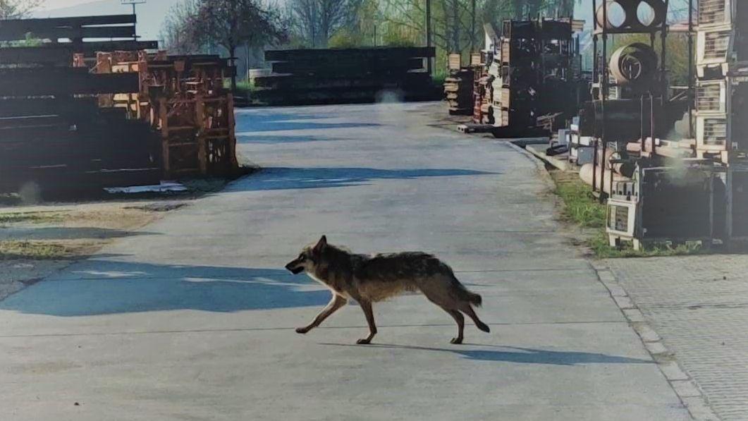 Der Wolf läuft über den Weg