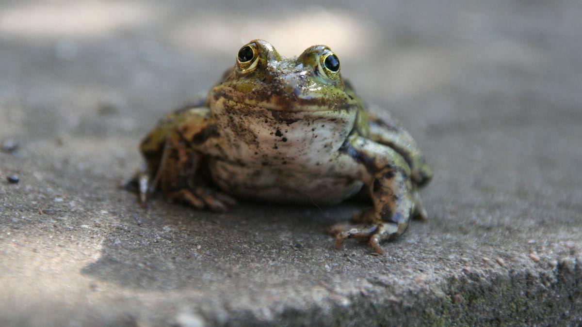 Ein Frosch sitzt auf einer Betonplatte