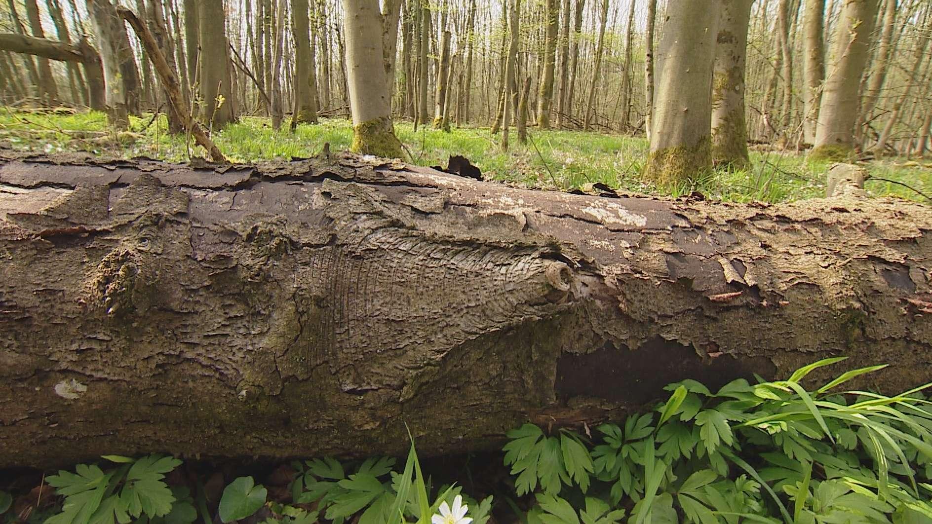 Rußrindenkrankheit: Stamm eines Ahornbaumes