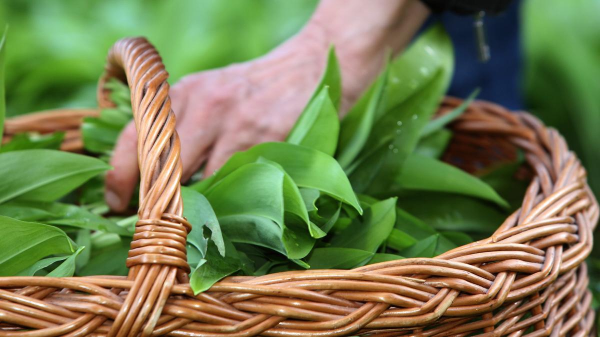 Ein Weidenkorb mit Bärlauchblättern