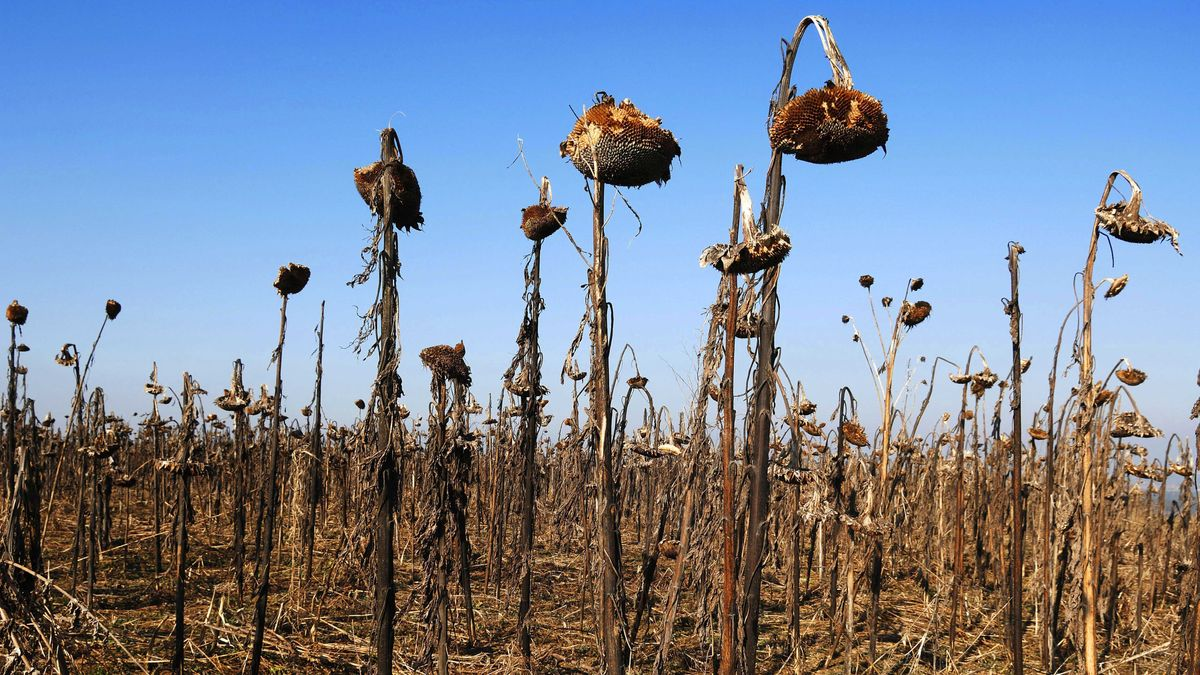 Vertrocknetes Sonnenblumenfeld in Mittelfranken