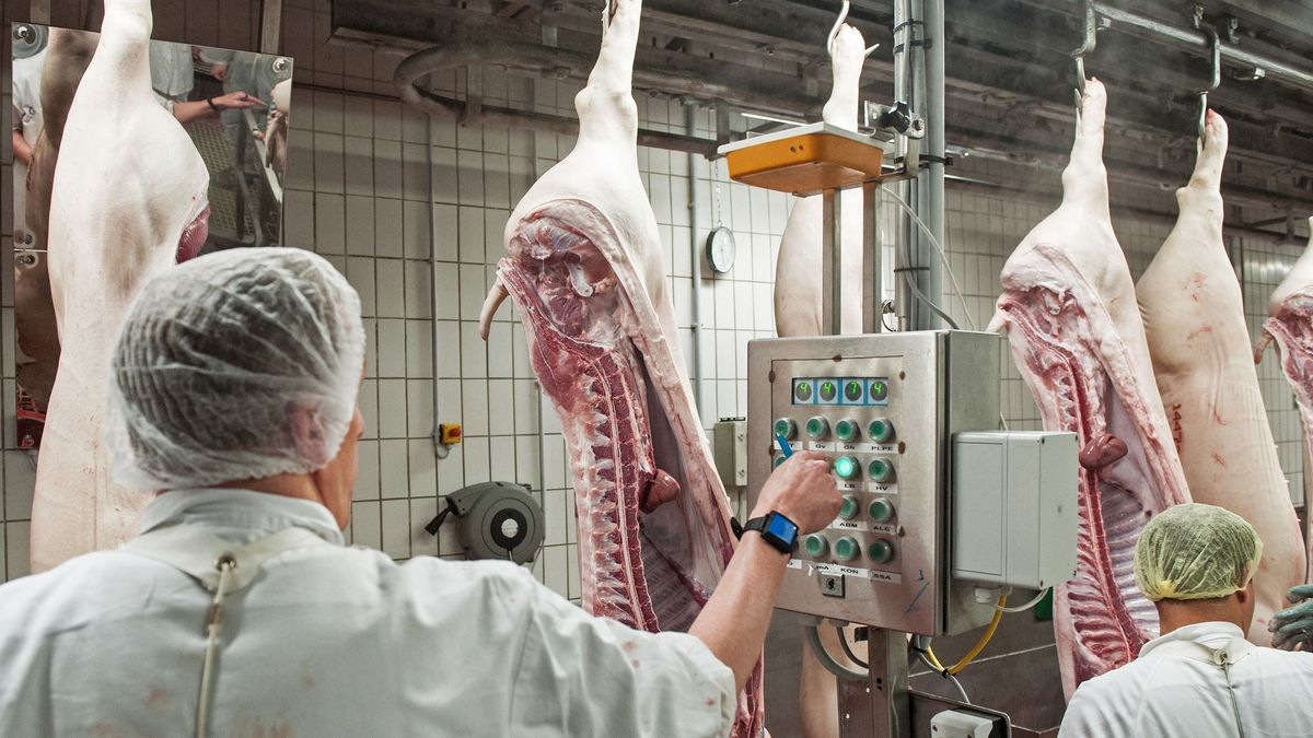 Schweinehälften passieren einen Kontrollterminal in einem Schlachthof
