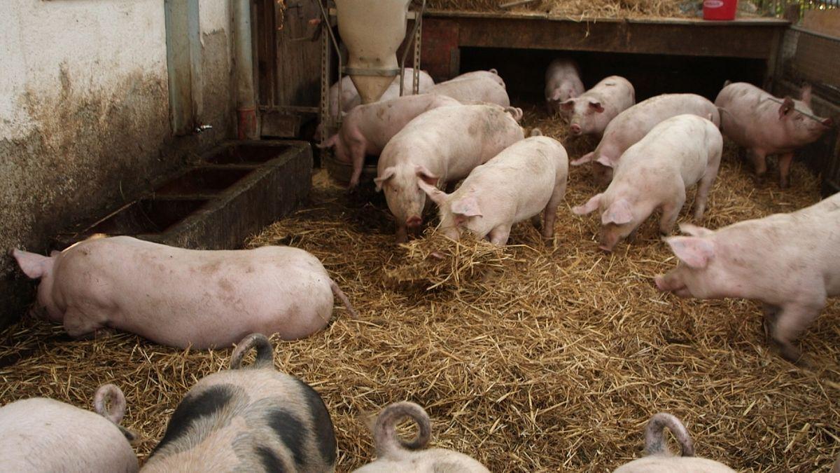 Schweinehaltung auf Stroh im Stall von Landwirt Robert Schweiger in Isen