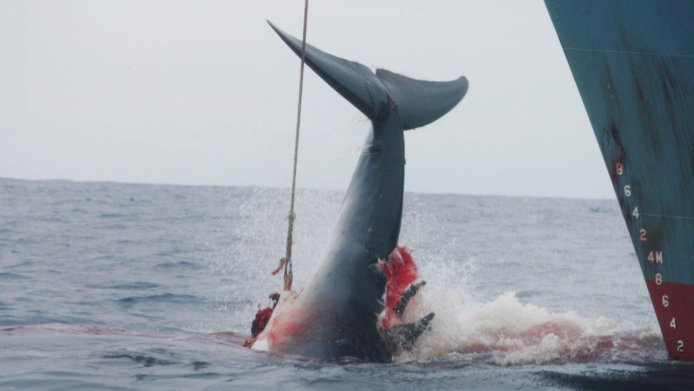Ein von japanischen Walfischern mit einer Harpune verletzter Wal. Japans Walfang im Nordpazifik verstößt gegen das Artenschutzabkommen CITES.