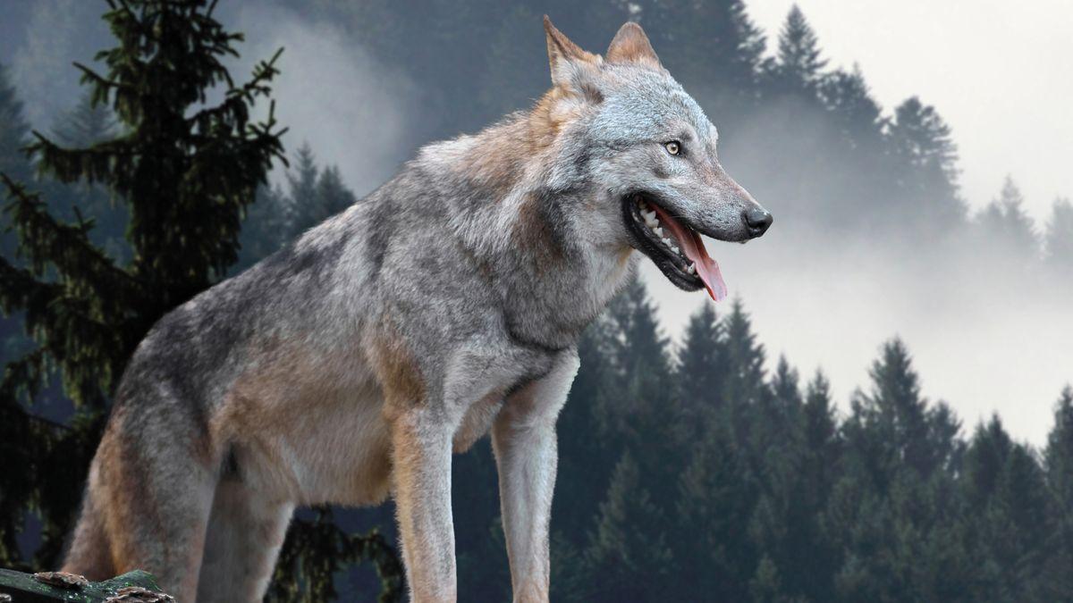 Ein Wolf in den Bergen (Symbolfoto)