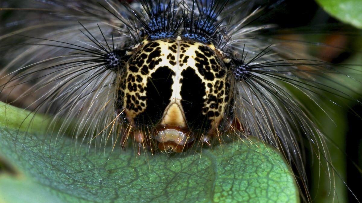 Schwammspinner (Lymantria dispar)