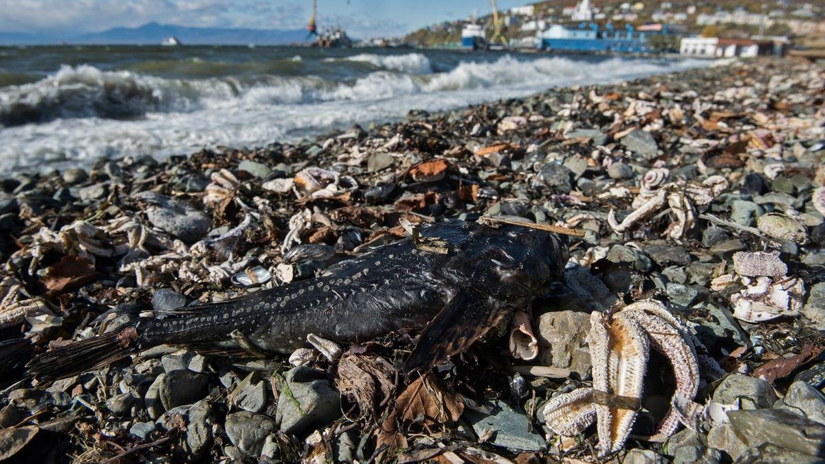 Tiersterben im meer vor kamtschatka weiterhin ungeklärt.