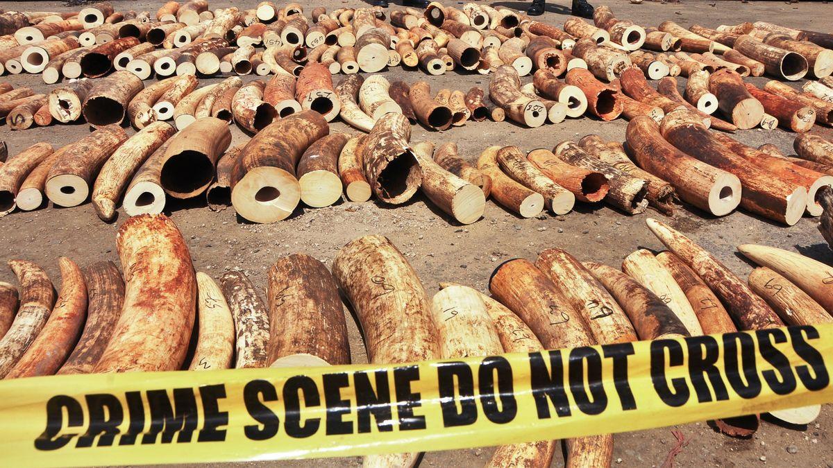 Geschmuggeltes Elfenbein liegt im Hafen des kenianischen Mombasa