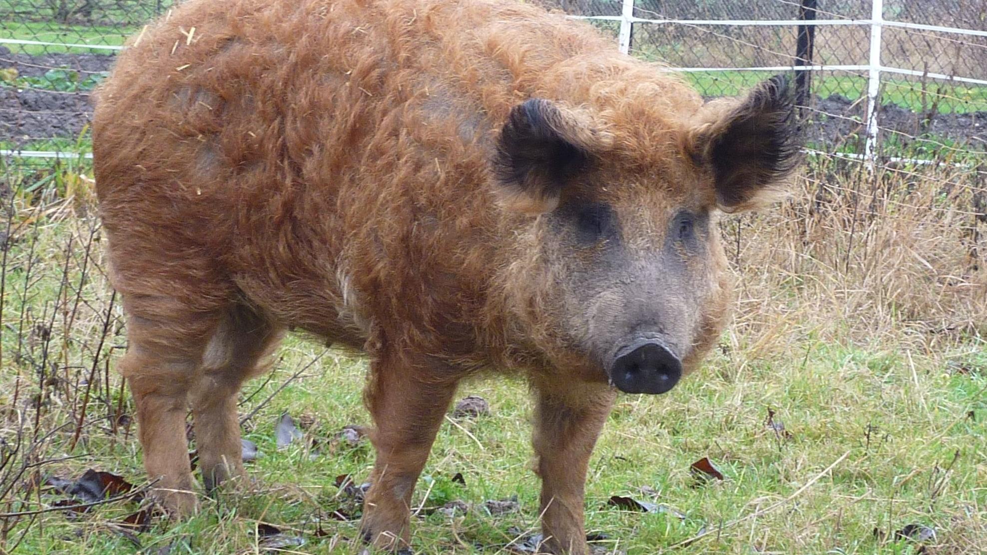 Rotes Wollschwein, das zur Gefährdeten Nutztierrasse 2019 ernannt wurde