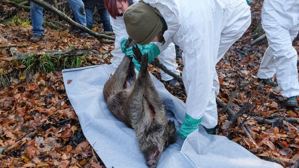 Erster Fall afrikanischer Schweinepest in Deutschland bestätigt