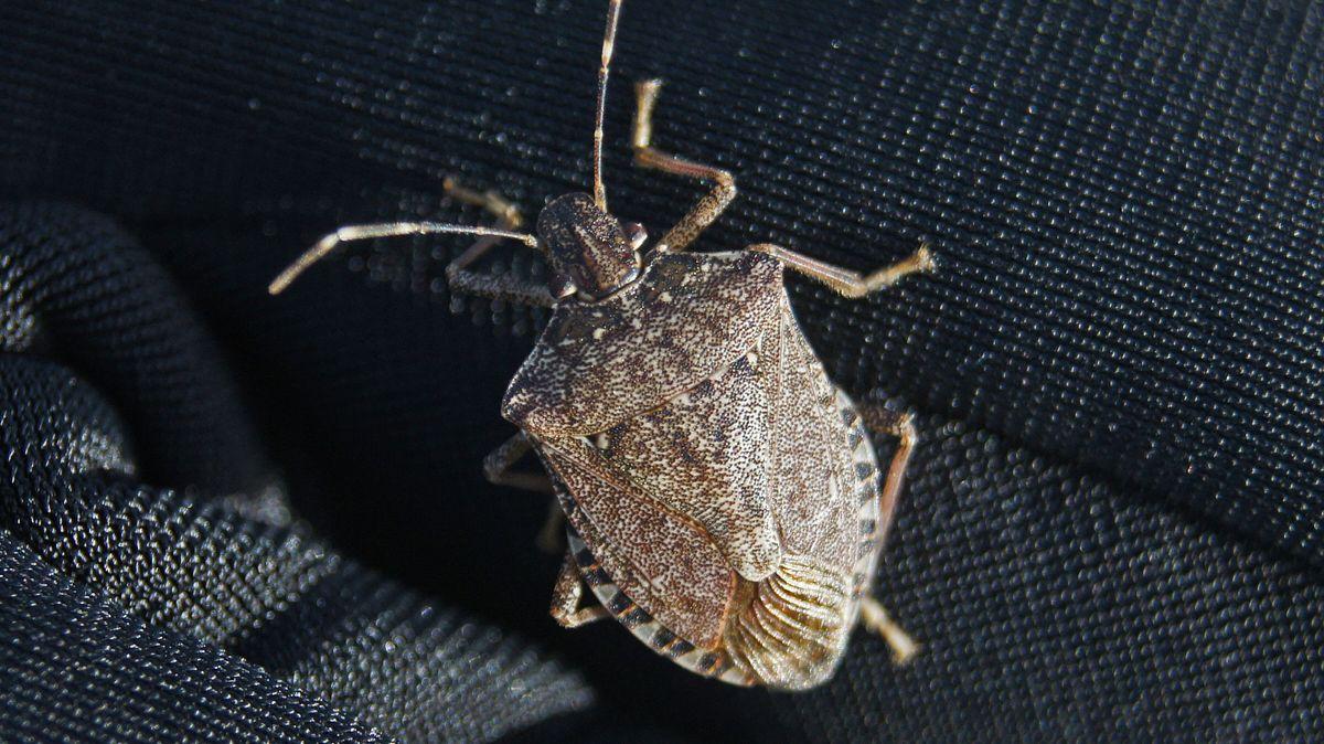 Marmorierte Baumwanze (Pentatomidae), auch Stinkkäfer genannt