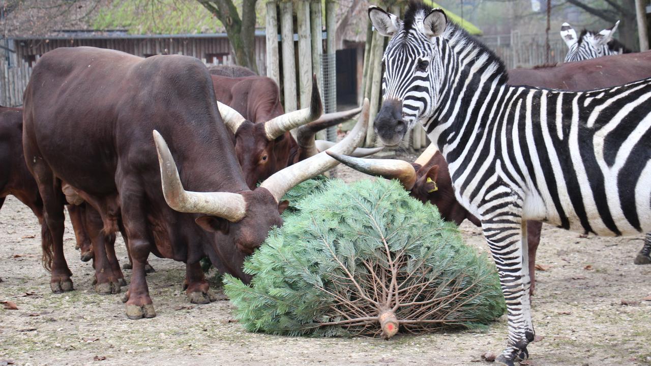 Bullen und ein Zebra in einem Gehege im Straubinger Tiergarten. Sie machen sich über einen Christbaum her