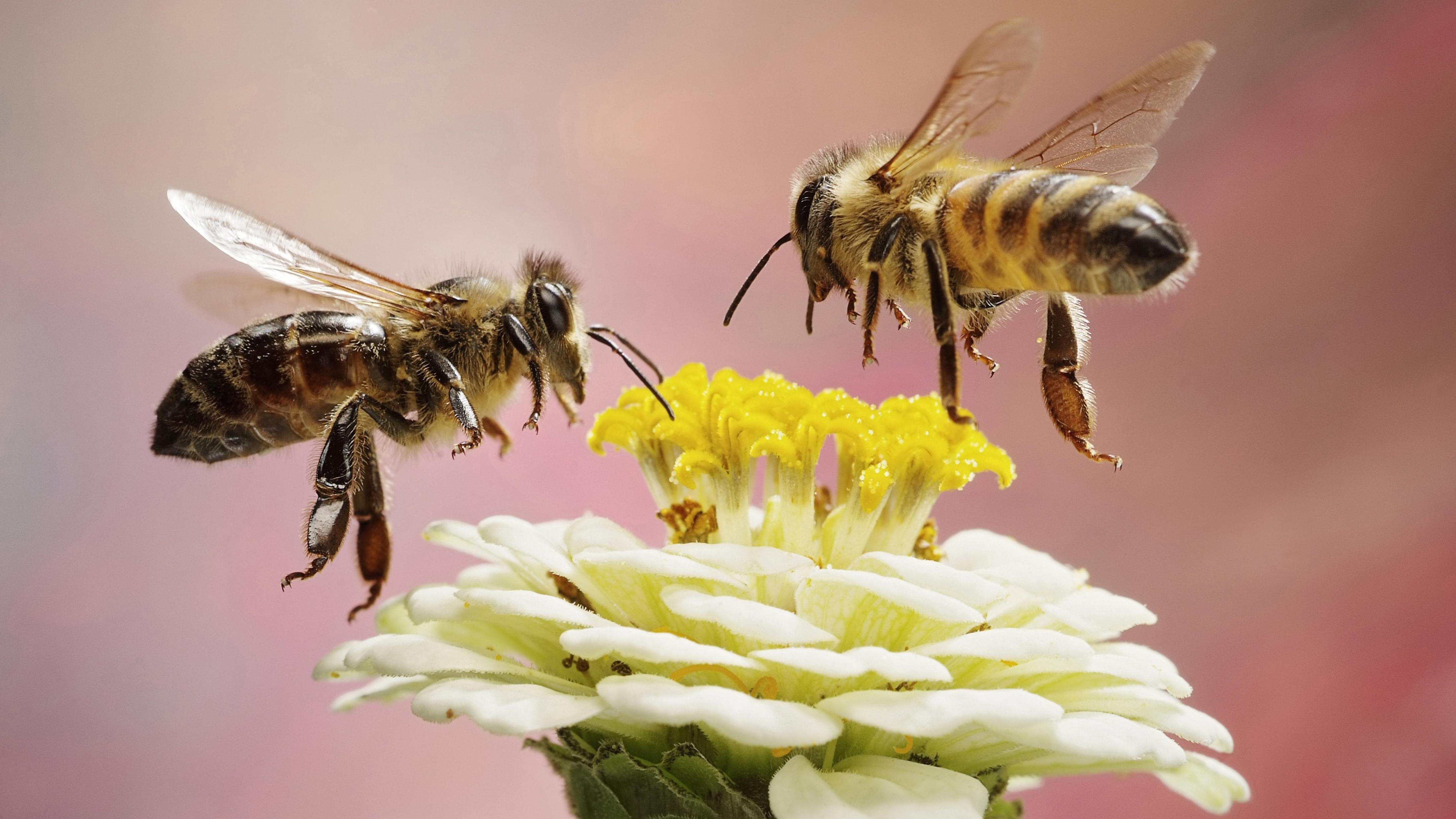 Bienen an einer Zinnie, die verstärkt als Blumenschmuck am Münchner Rathaus gepflanzt werden soll (Symbolbild)