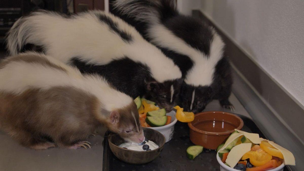 Stinktiere sind Gourmets: Molly, Rudi und Faye.