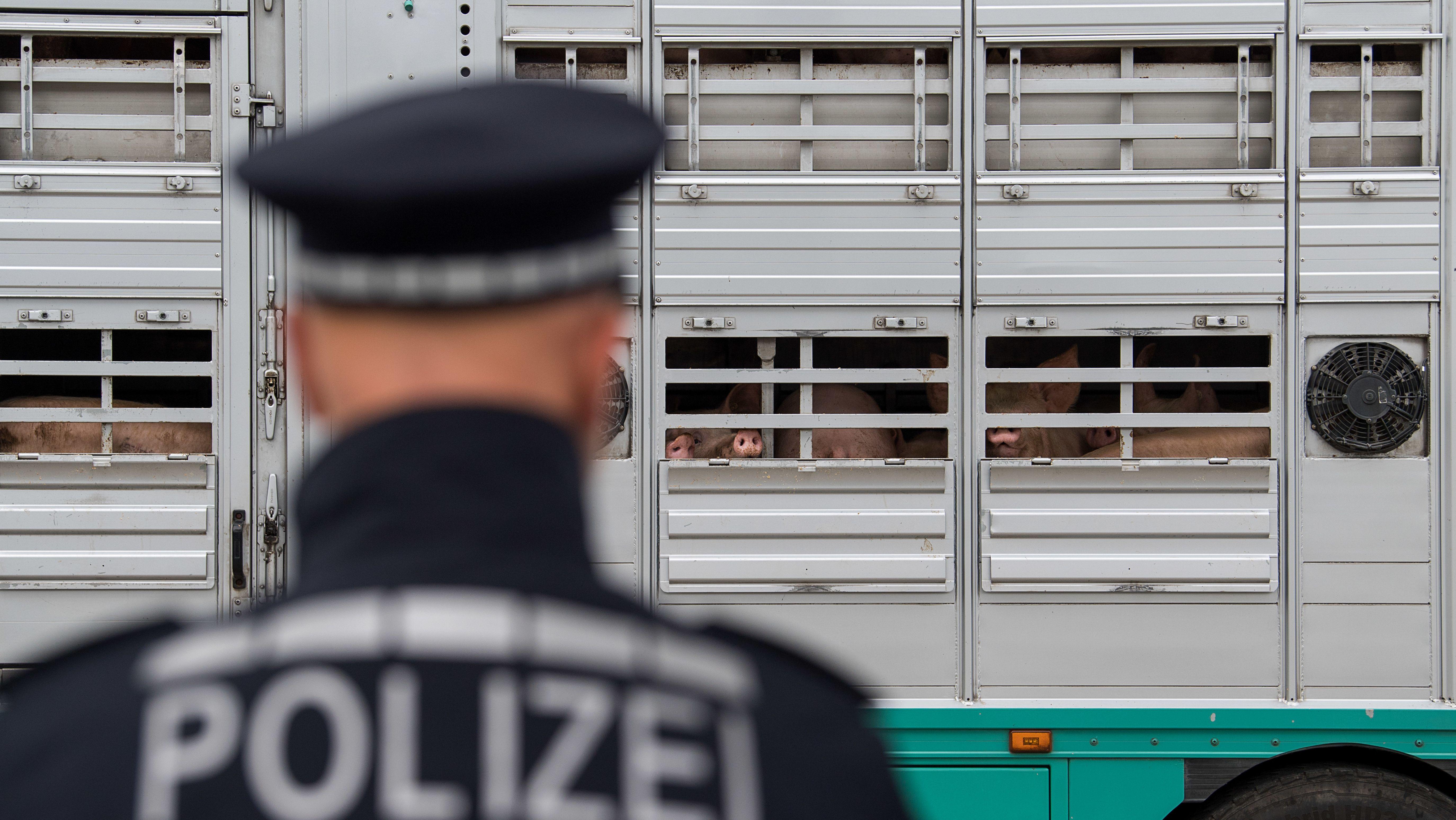 Polizeikontrolle eines Schweinetransporters