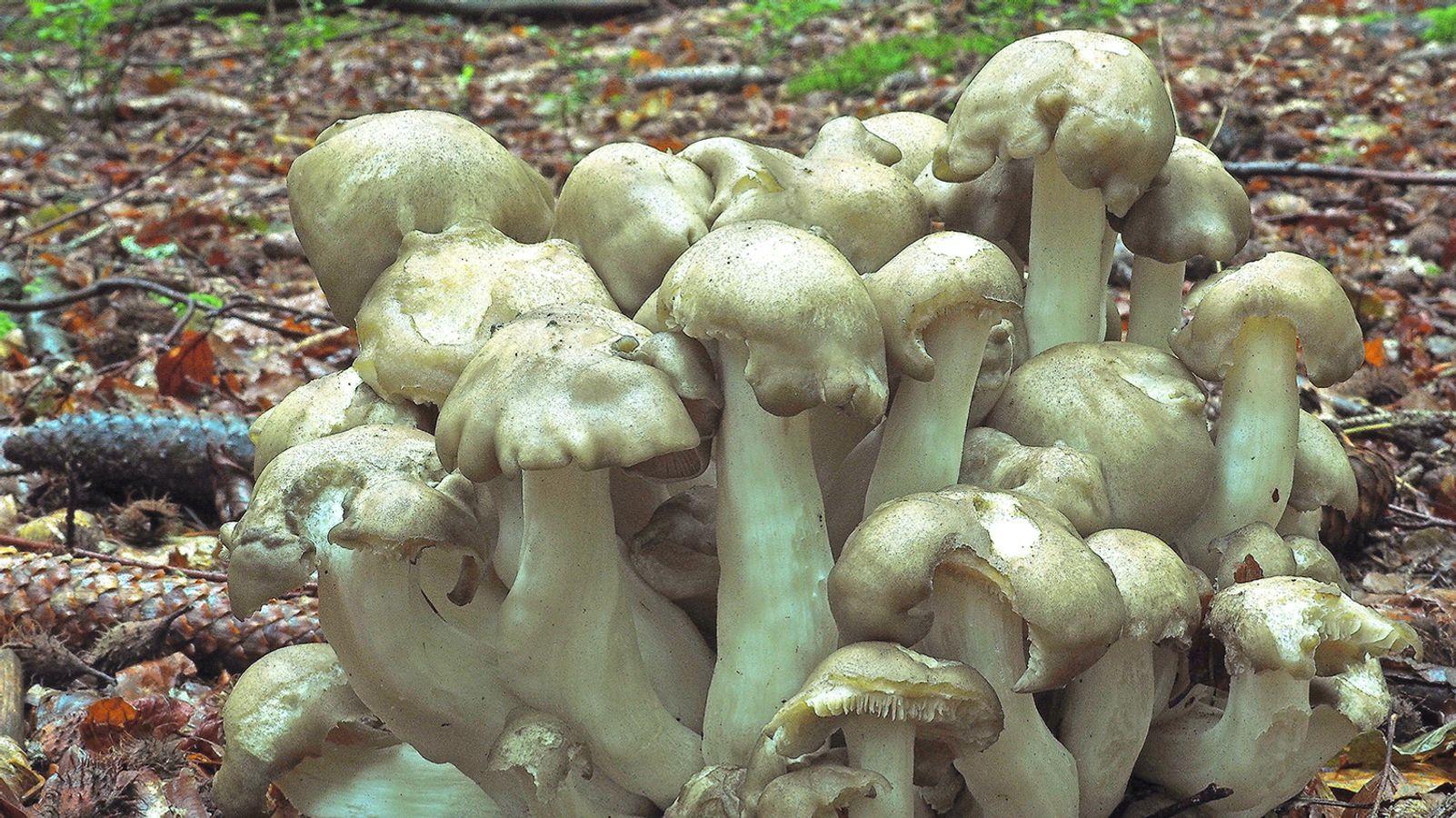 Erdsimmerling gesucht: Nationalpark ruft Pilzkenner zu Hilfe