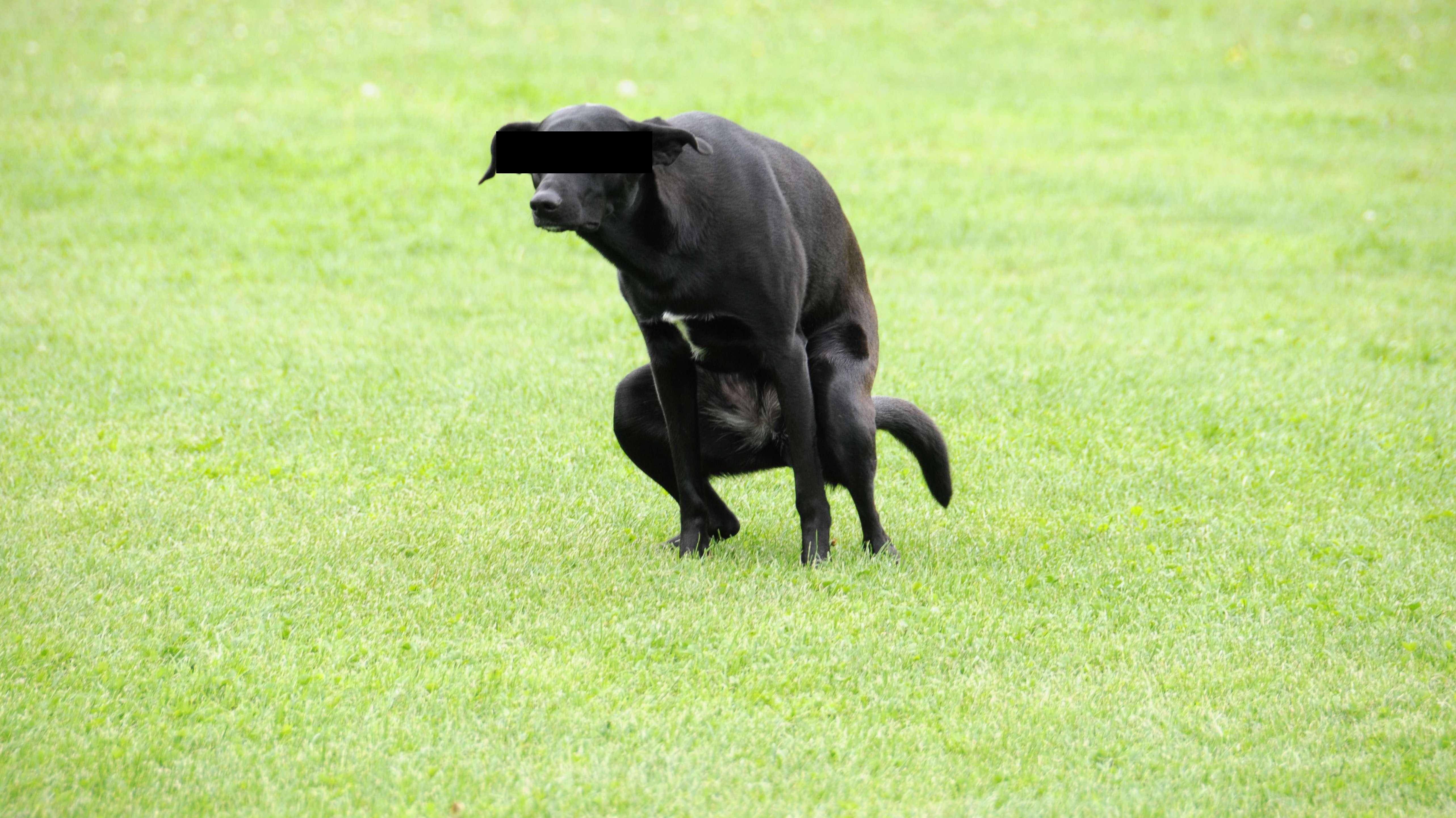 Hund macht großes Geschäft auf einer Wiese.