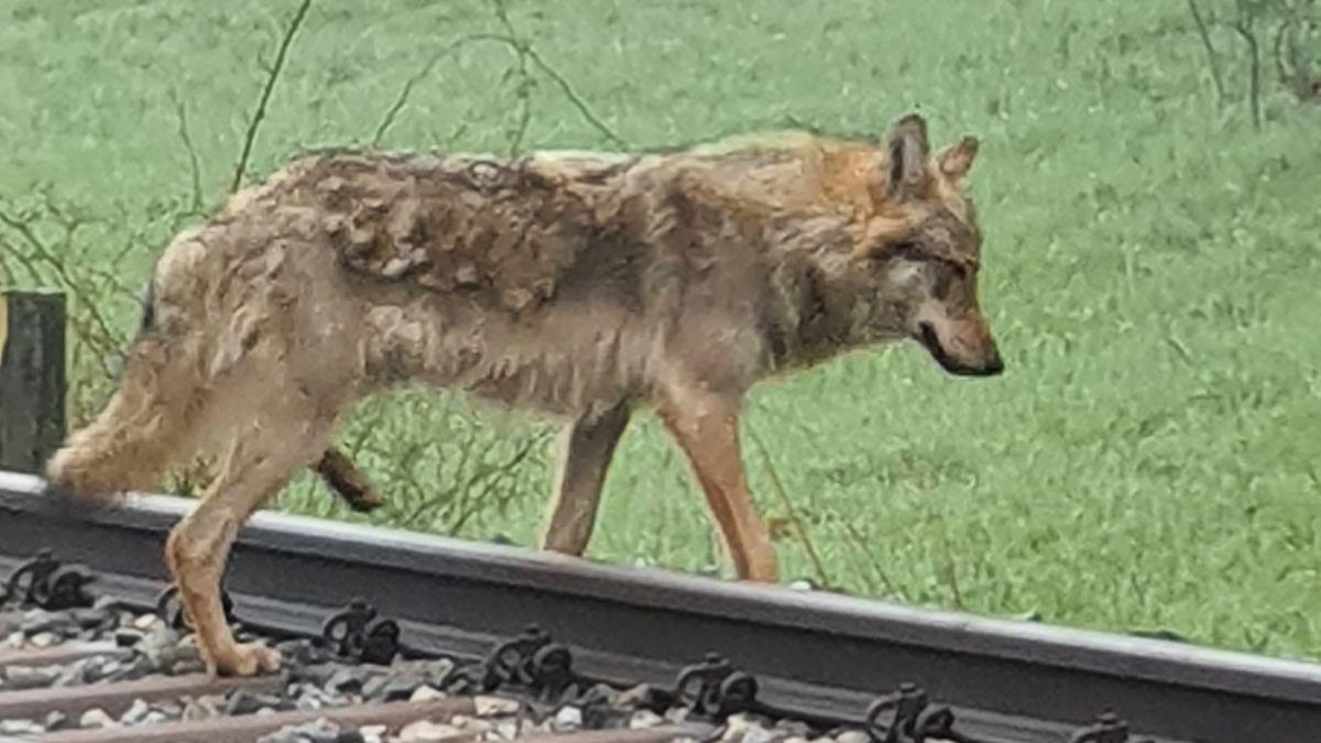 Ein Wolf überquert bei Bad Windsheim die Bahnschienen