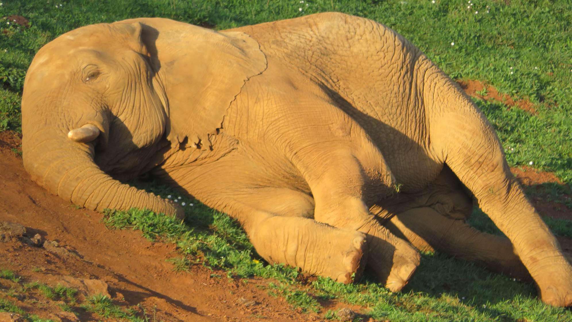 Elefanten liegen am liebsten auf der Seite. Mit zunehmendem Alter fällt ihnen das Aufstehen schwerer.