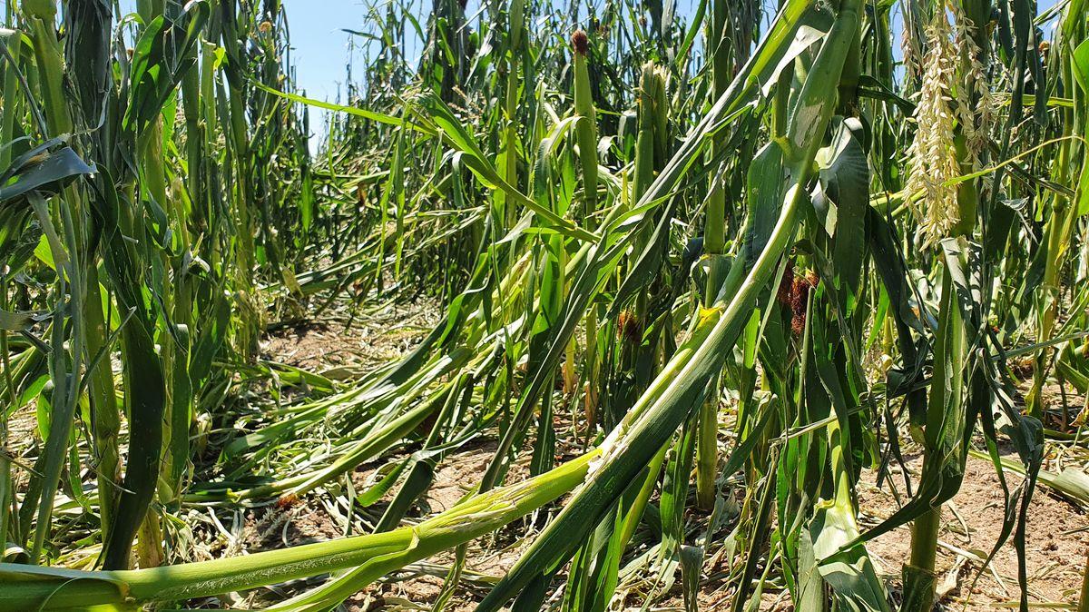 Abgeknickter Mais in Kruckenberg vom Unwetter geschädigt