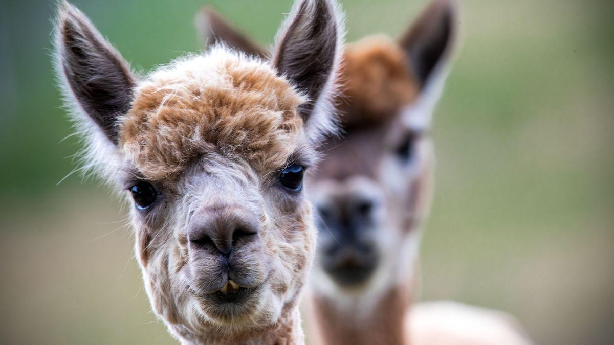 Alpakas stammen eigentlich aus den Anden. In Unterfranken kann man mit ihnen wandern gehen..