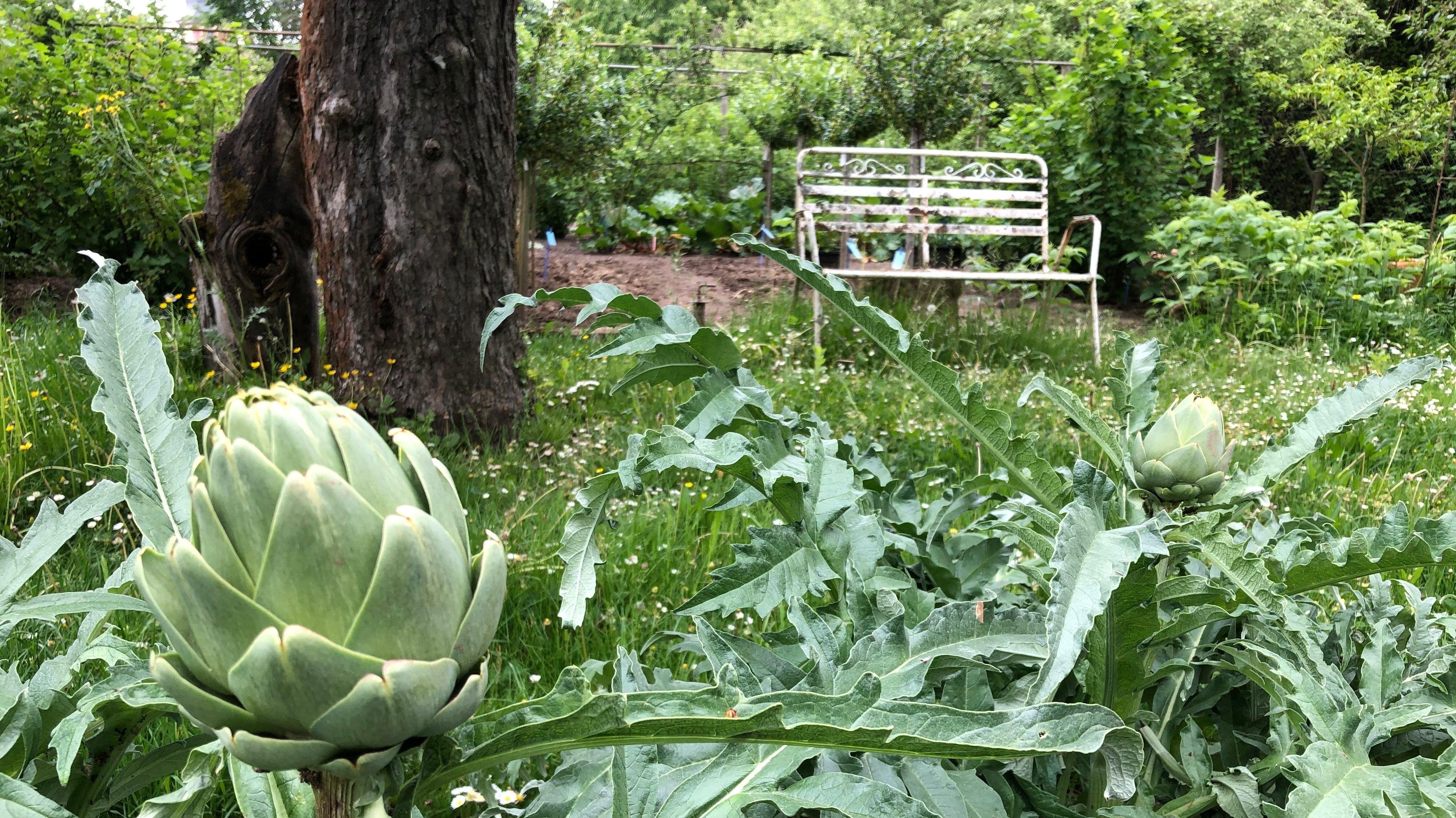 Artischockenpflanze in naturnahem Garten in Veitshöchheim