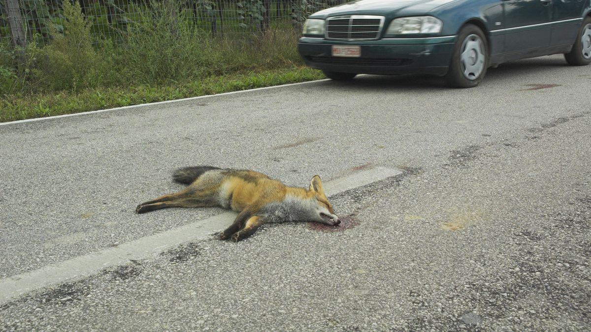 Ein Fuchs liegt auf einer Straße