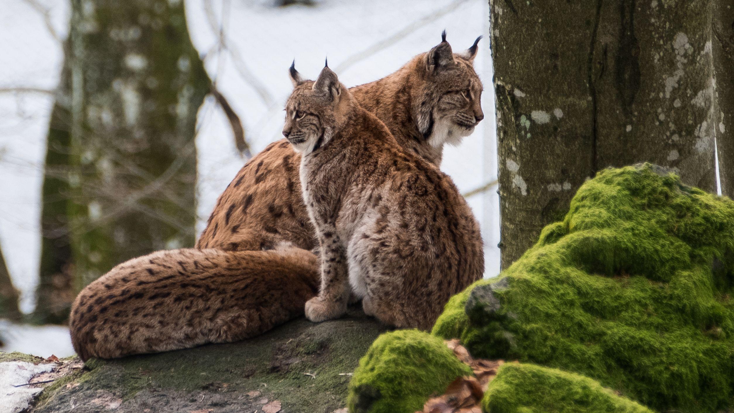 Luchse im Nationalpark Bayerischer Wald
